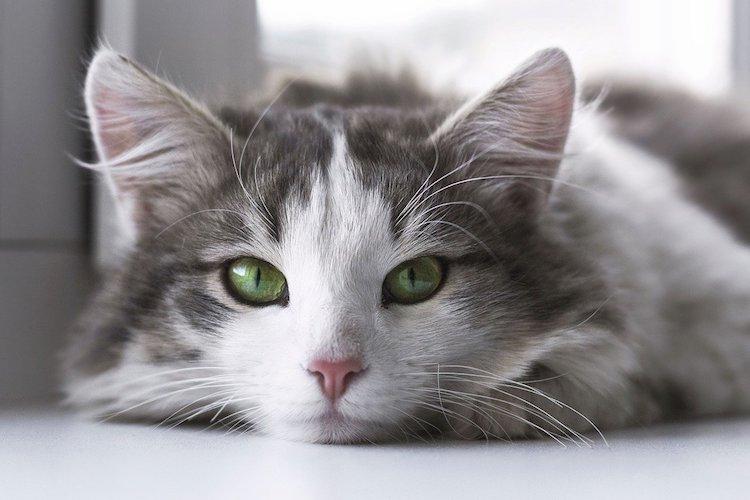 白とグレーの猫