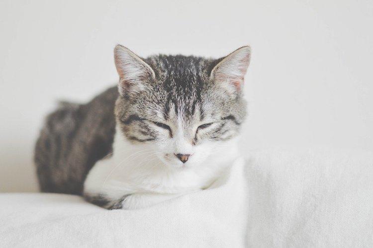 ウトウトする猫